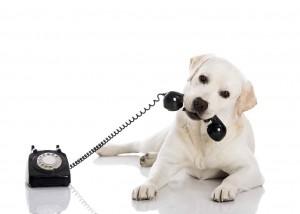 電話の受話器をくわえた白い犬