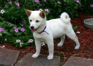 白くて可愛い柴犬の子供